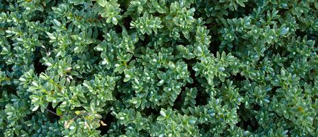 hedge-2-464x200