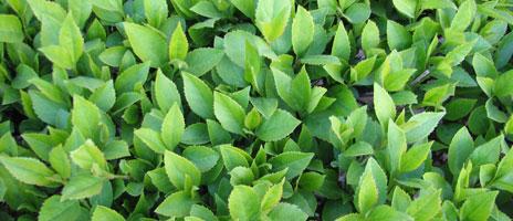 hedge-1-464x200