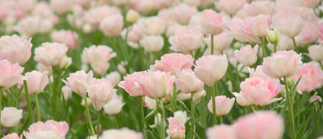pale-pink-flowers-464x200
