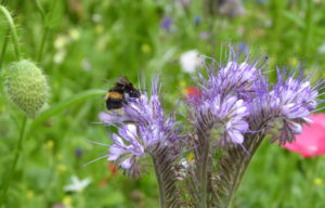Bees encouraged by wild flowers in Churchill gardens Westminster